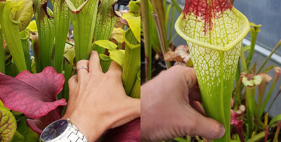 62) Pack of Sarracenia seeds 2020/2021