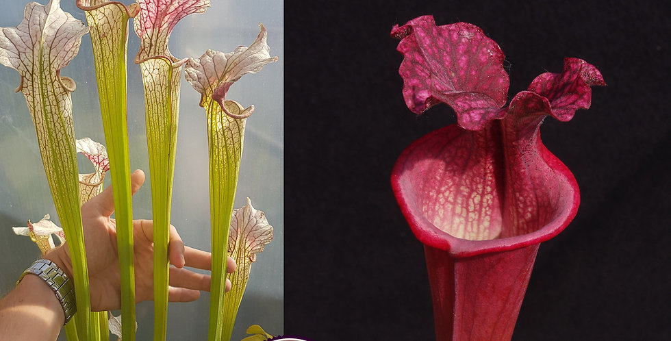 06) Pack of Sarracenia seeds 2020/2021