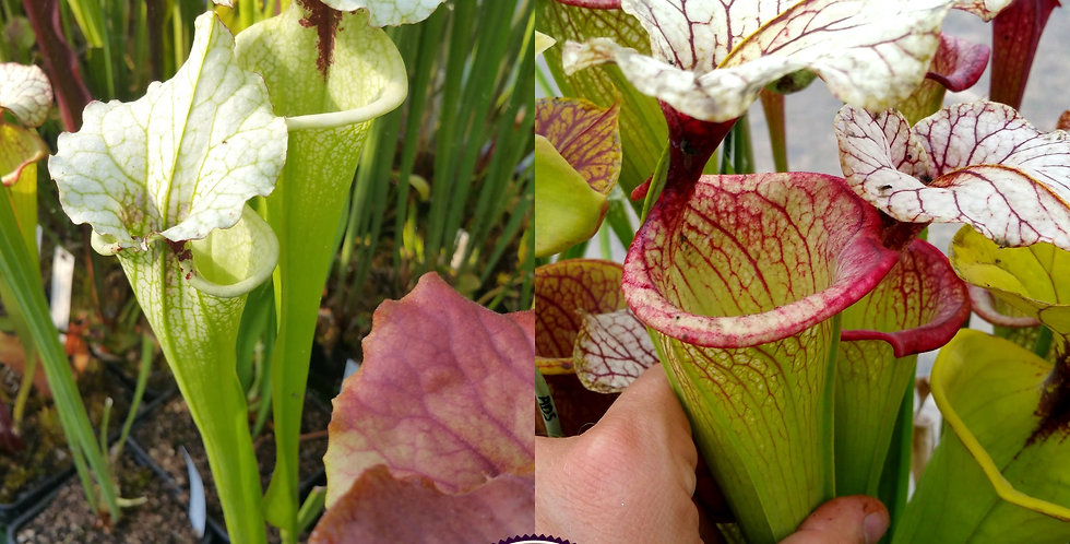 30) Pack of Sarracenia seeds 2020/2021