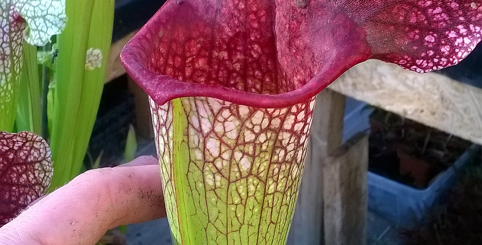 S. [(Purpurea x Leucophylla) x Purp. venosa] x Moorei 'Adrian Slack' clone A