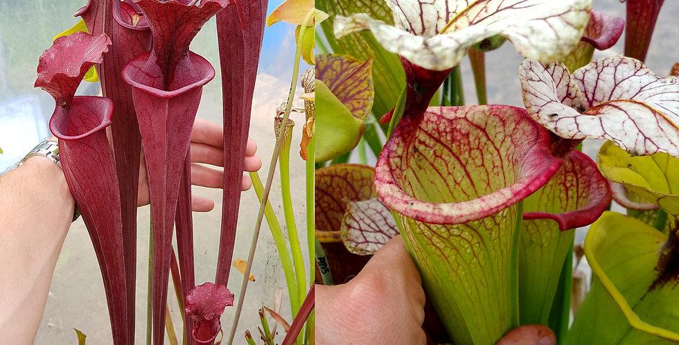 94) Pack of Sarracenia seeds 2019/2020, carnivorous plants rare