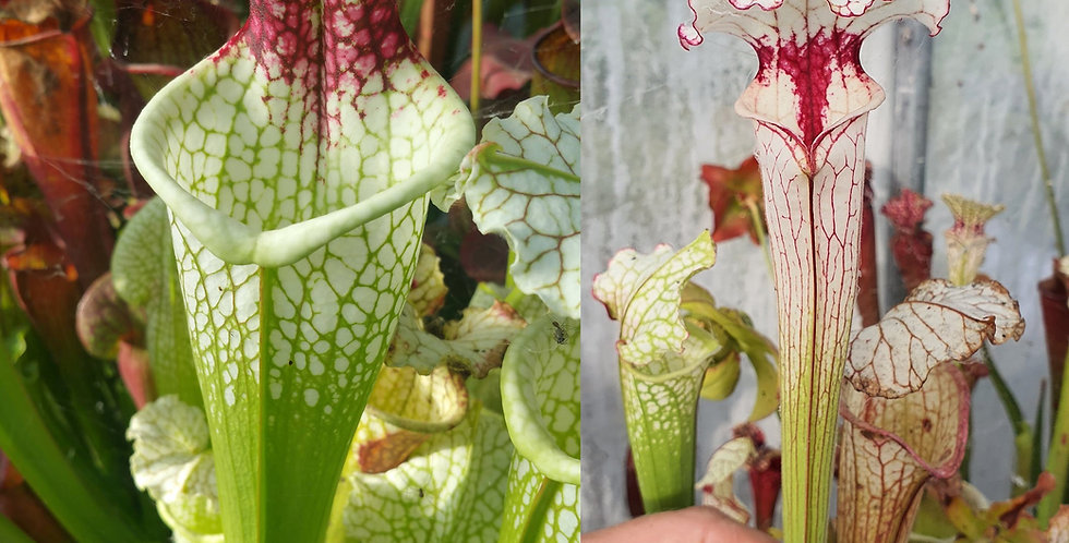 26) Pack of Sarracenia seeds 2020/2021
