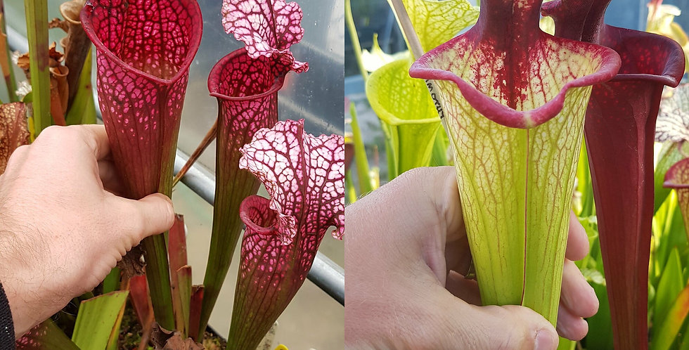 29) Pack of Sarracenia seeds 2019/2020, carnivorous plants rare