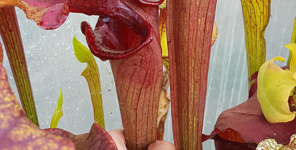 Sarracenia x Reptilian Rose