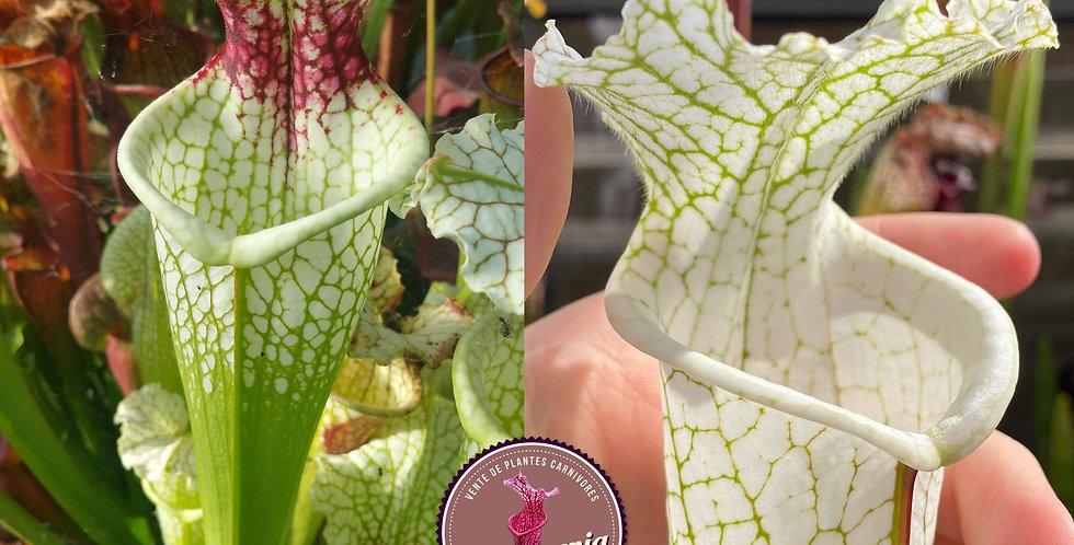 23) Pack of Sarracenia seeds 2020/2021