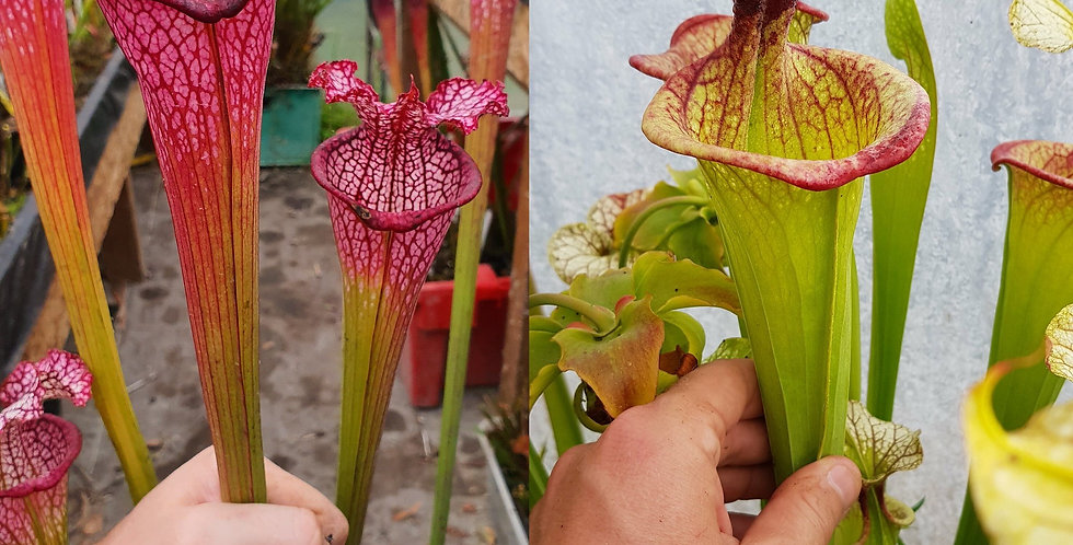 108) Pack of Sarracenia seeds 2020/2021