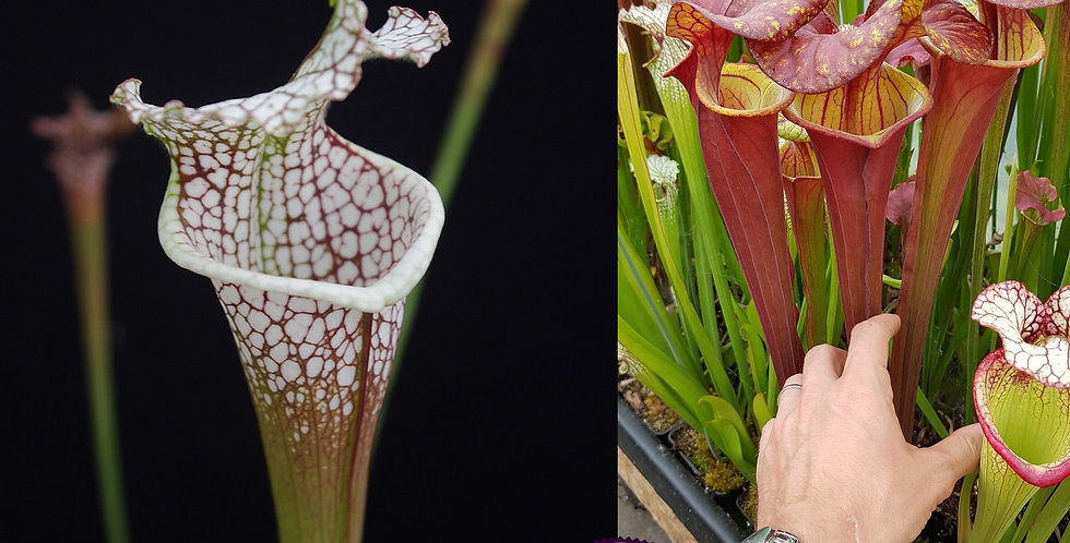 130) Pack of Sarracenia seeds 2019/2020, carnivorous plants rare