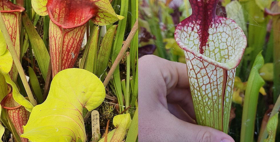 54) Pack of Sarracenia seeds 2020/2021