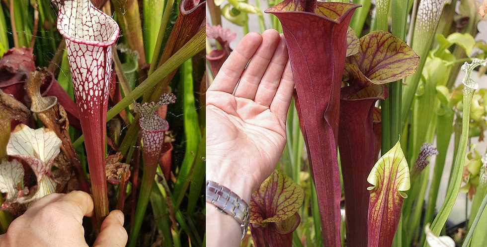 107) Pack of Sarracenia seeds 2019/2020, carnivorous plants rare
