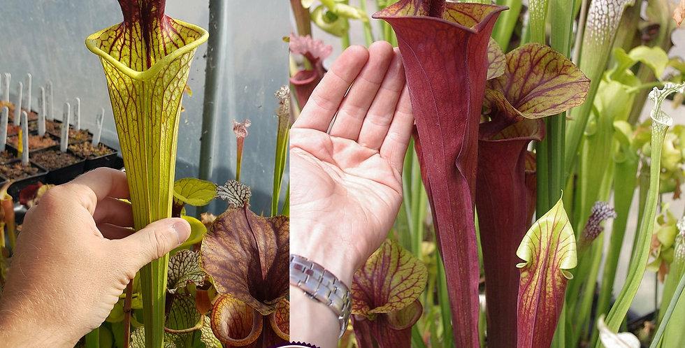 82) Pack of Sarracenia seeds 2020/2021
