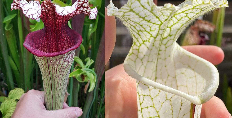 38) Pack of Sarracenia seeds 2020/2021