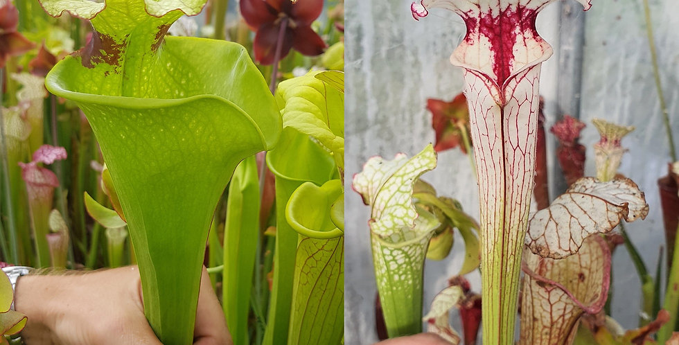 116) Pack of Sarracenia seeds 2020/2021