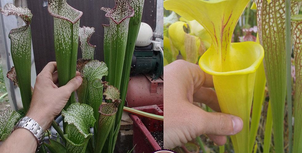 133) Pack of Sarracenia seeds 2019/2020, carnivorous plants rare