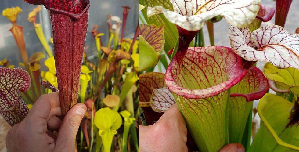 56) Pack of Sarracenia seeds 2020/2021