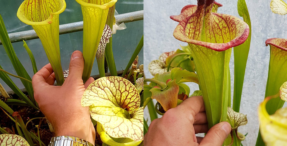 161) Pack of Sarracenia seeds 2020/2021