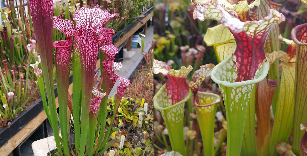 69) Pack of Sarracenia seeds 2020/2021