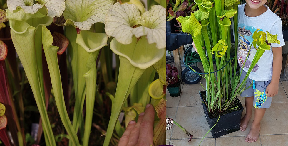 111) Pack of Sarracenia seeds 2019/2020, carnivorous plants rare