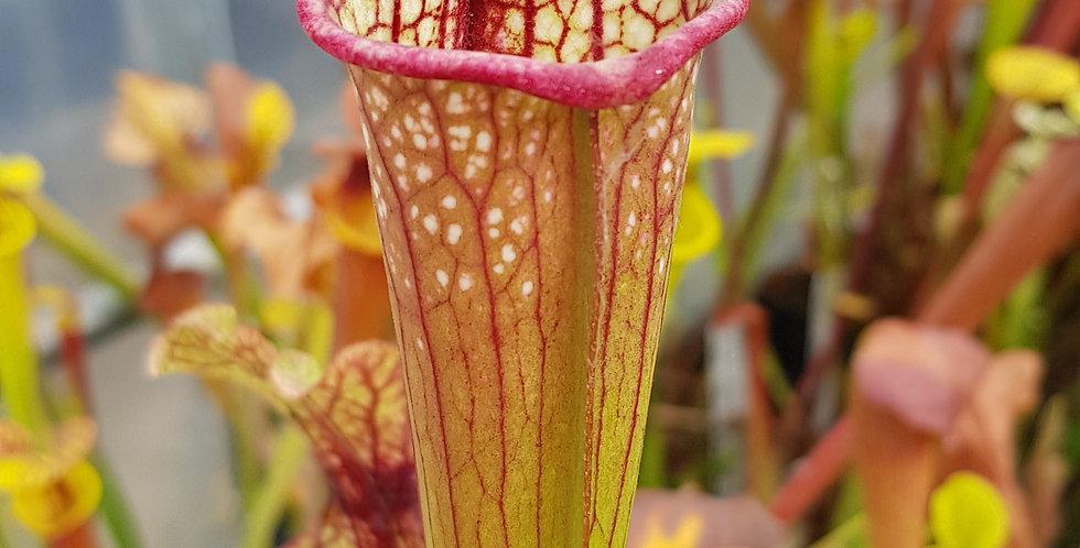 (Purpurea x Leucophylla) x Moorei Adrian Slack