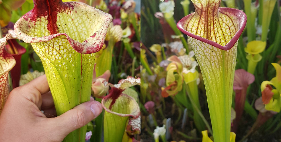 114) Pack of Sarracenia seeds 2020/2021