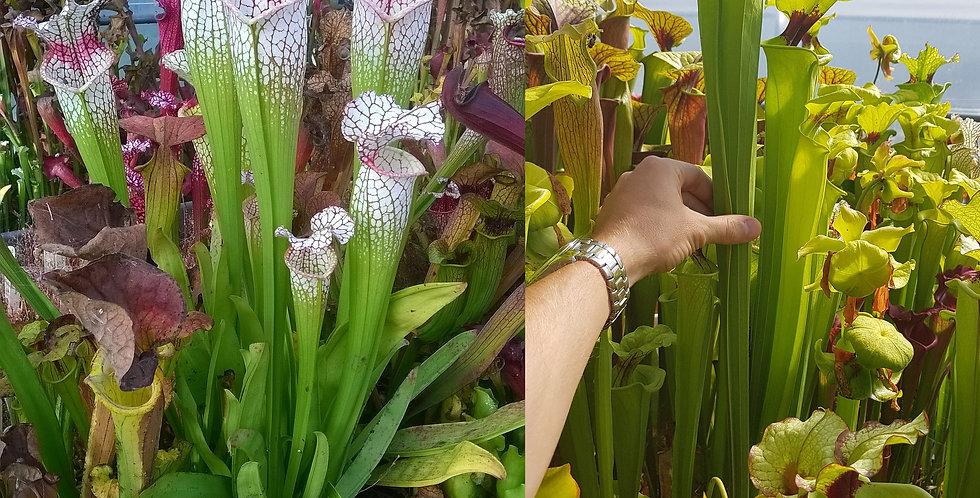 35) Pack of Sarracenia seeds 2020/2021