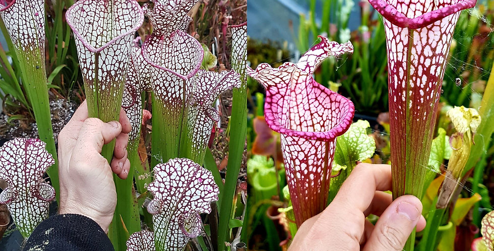 19) Pack of Sarracenia seeds 2020/2021