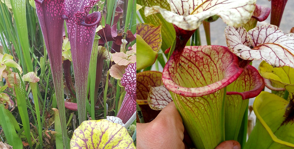 79) Pack of Sarracenia seeds 2019/2020, carnivorous plants rare