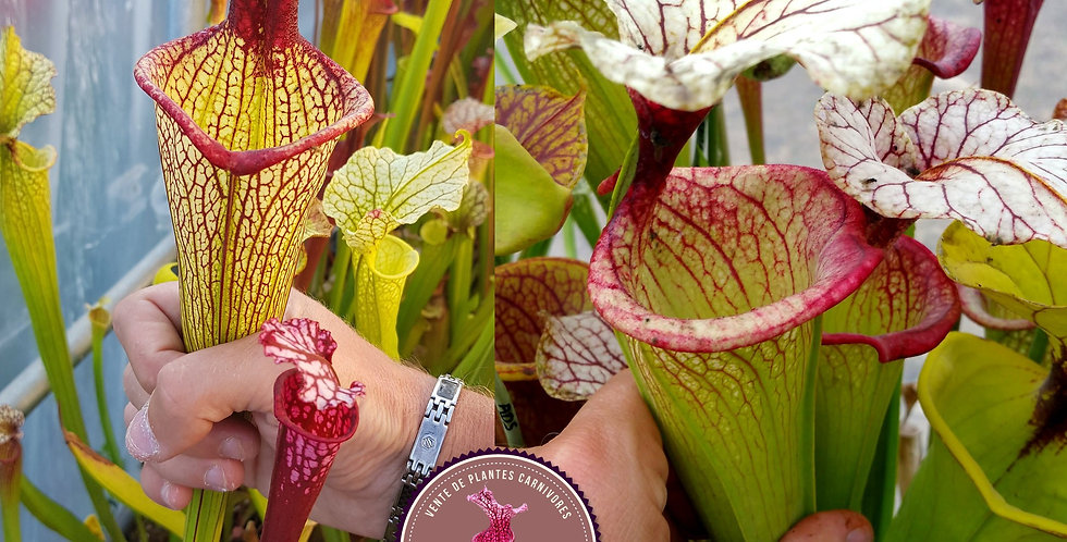 119) Pack of Sarracenia seeds 2019/2020, carnivorous plants rare