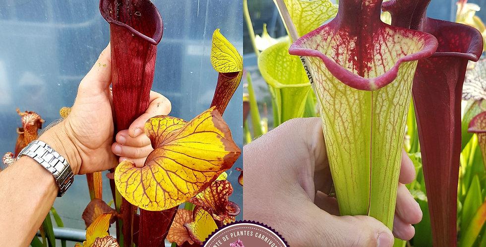 98) Pack of Sarracenia seeds 2020/2021