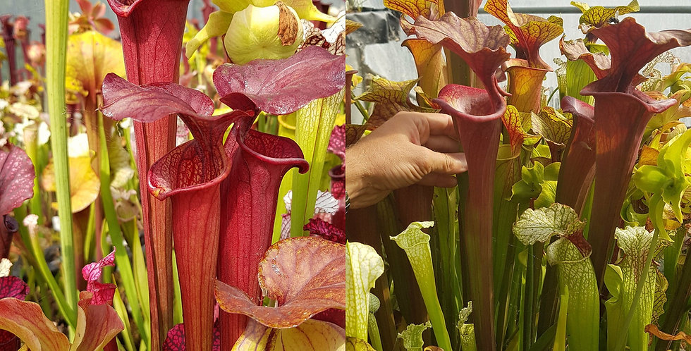 156) Pack of Sarracenia seeds 2020/2021