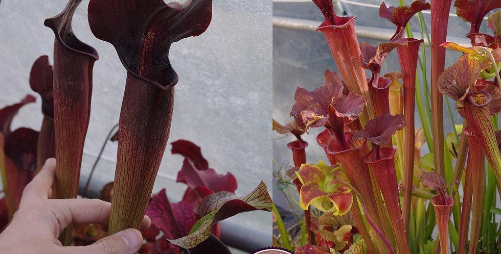 132) Pack of Sarracenia seeds 2019/2020, carnivorous plants rare