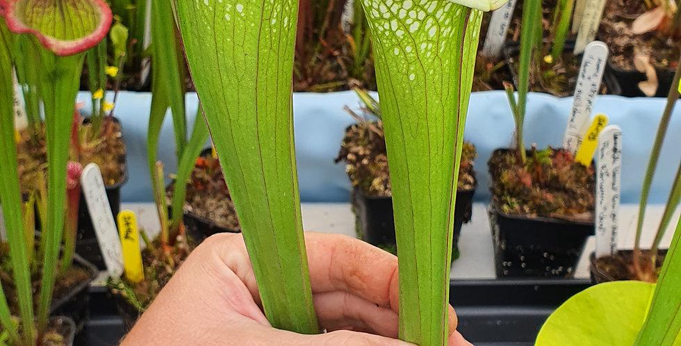SA149 : Leucophylla Titan x Moorei Leah Wilkerson