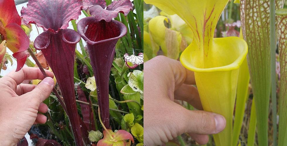 160) Pack of Sarracenia seeds 2020/2021
