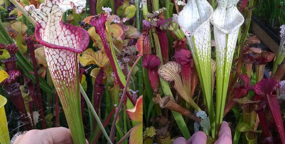 122) Pack of Sarracenia seeds 2019/2020, carnivorous plants rare