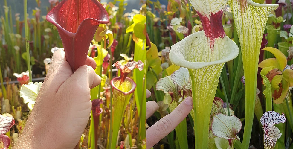 5) Pack of Sarracenia seeds 2019/2020, carnivorous plants rare