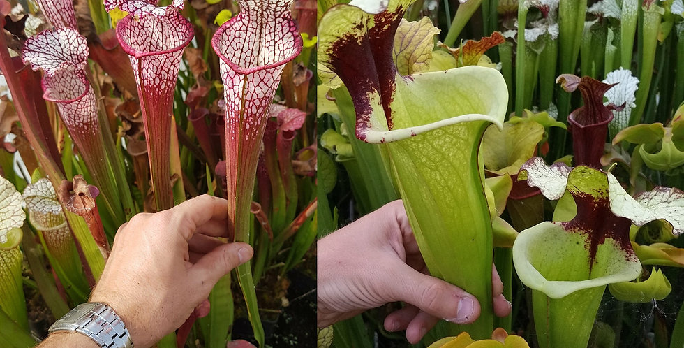 70) Pack of Sarracenia seeds 2020/2021