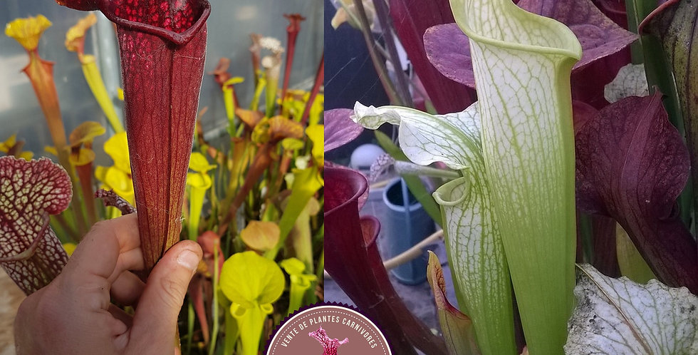 42) Pack of Sarracenia seeds 2019/2020, carnivorous plants rare