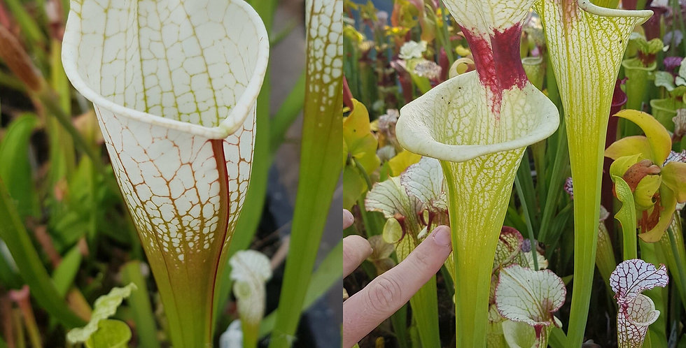 20) Pack of Sarracenia seeds 2019/2020, carnivorous plants rare