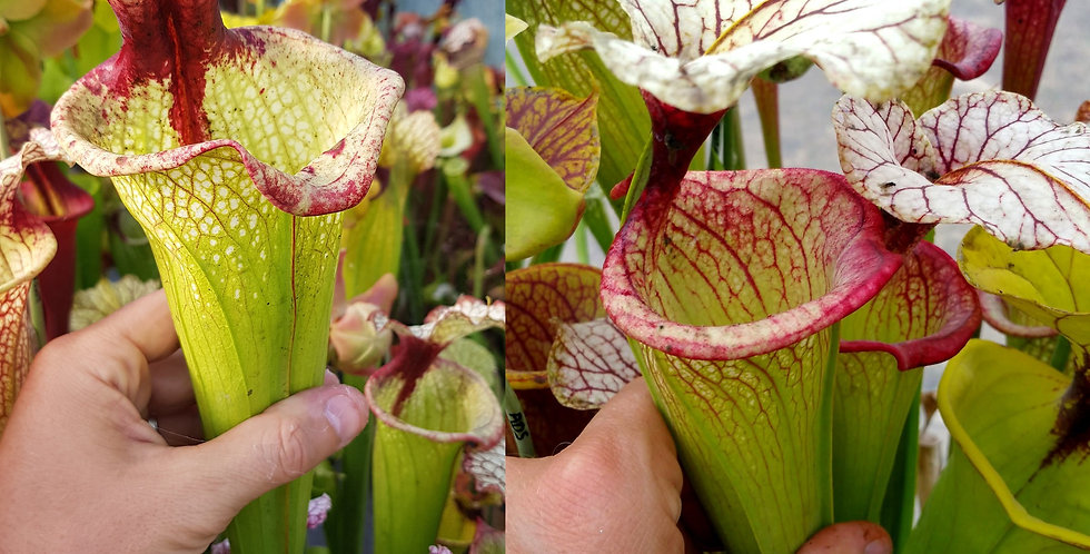 74) Pack of Sarracenia seeds 2019/2020, carnivorous plants rare