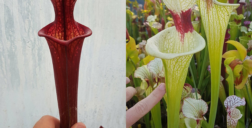 51) Pack of Sarracenia seeds 2019/2020, carnivorous plants rare