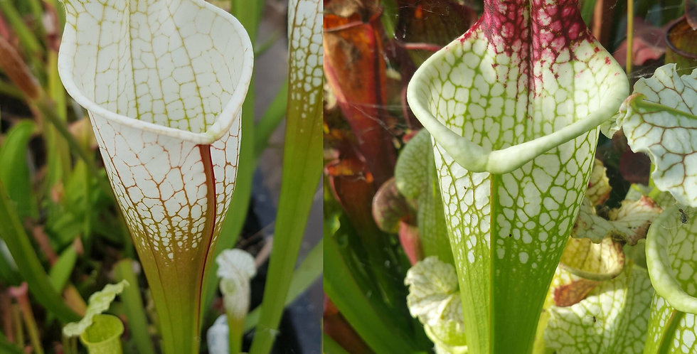 15) Pack of Sarracenia seeds 2019/2020, carnivorous plants rare
