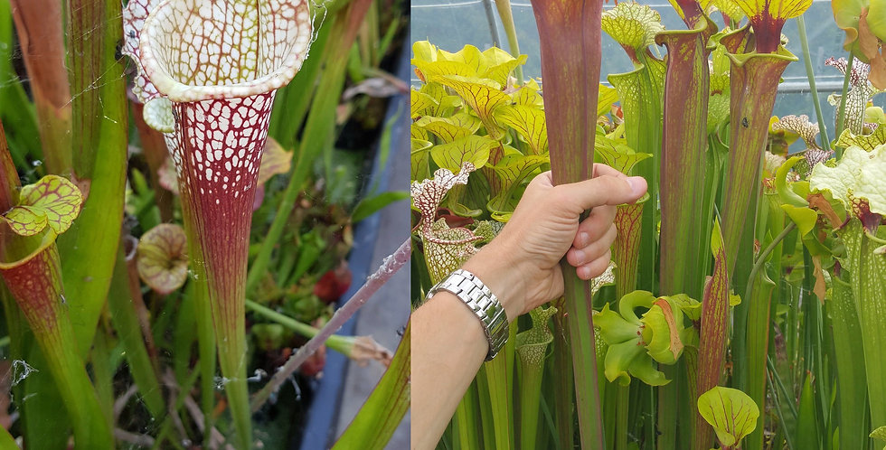 89) Pack of Sarracenia seeds 2019/2020, carnivorous plants rare