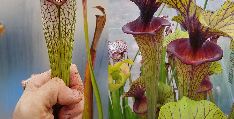 102) Pack of Sarracenia seeds 2020/2021