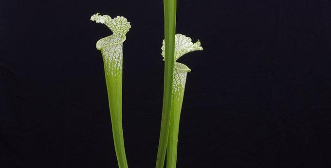 Leucophylla green, Bill Scholl
