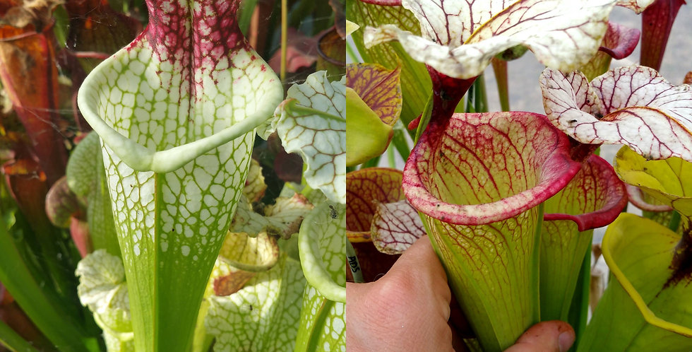 27) Pack of Sarracenia seeds 2019/2020, carnivorous plants rare