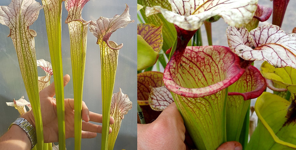 18) Pack of Sarracenia seeds 2020/2021