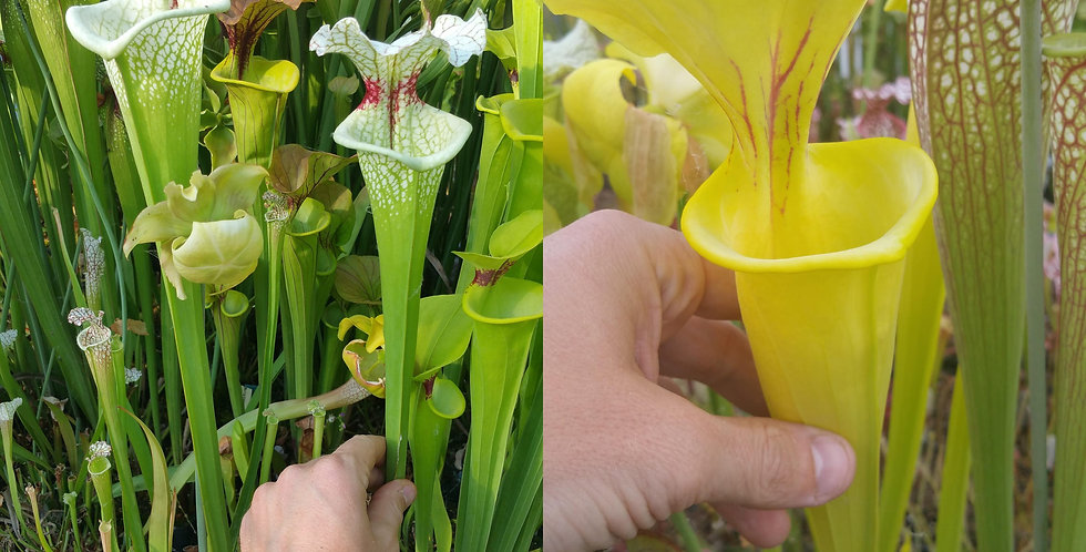 104) Pack of Sarracenia seeds 2019/2020, carnivorous plants rare