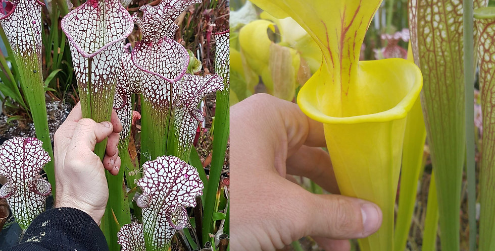 101) Pack of Sarracenia seeds 2019/2020, carnivorous plants rare