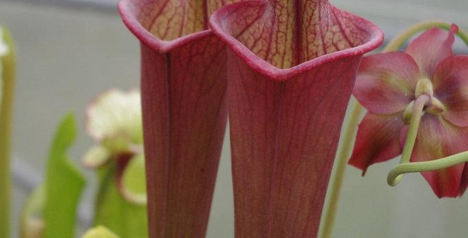 "S. x Moorei -- ""Doppelgänger"", (S. flava rubricorpora x leucophylla)  (SXM48 CA)"