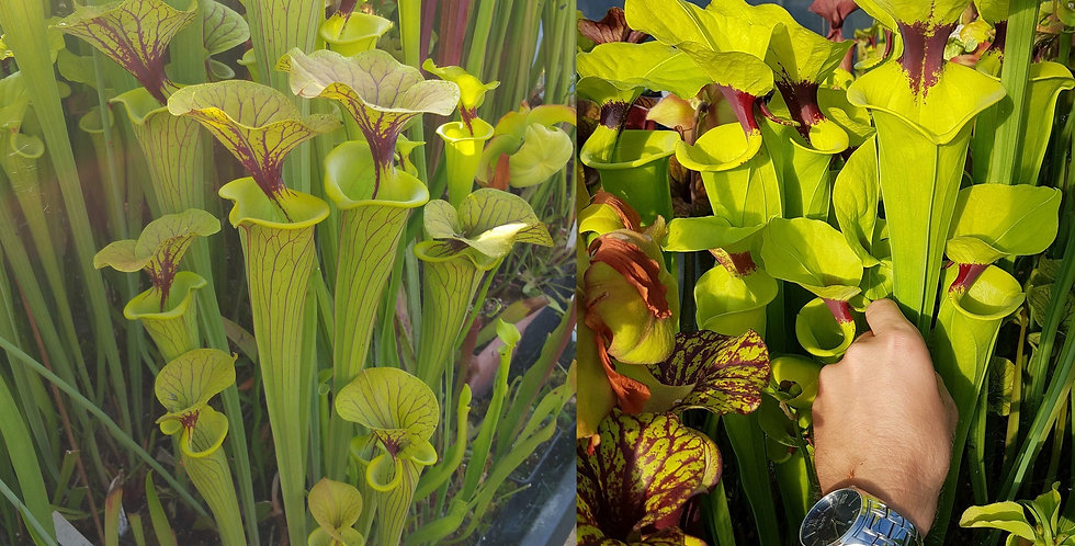 129) Pack of Sarracenia seeds 2019/2020, carnivorous plants rare