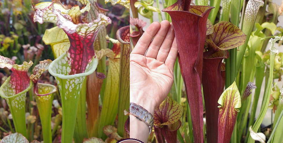 9) Pack of Sarracenia seeds 2019/2020, carnivorous plants rare